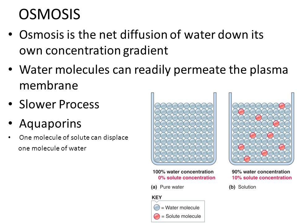 OSMOSIS Osmosis is the net diffusion of water down its own concentration gradient. Water molecules can readily permeate the plasma membrane.