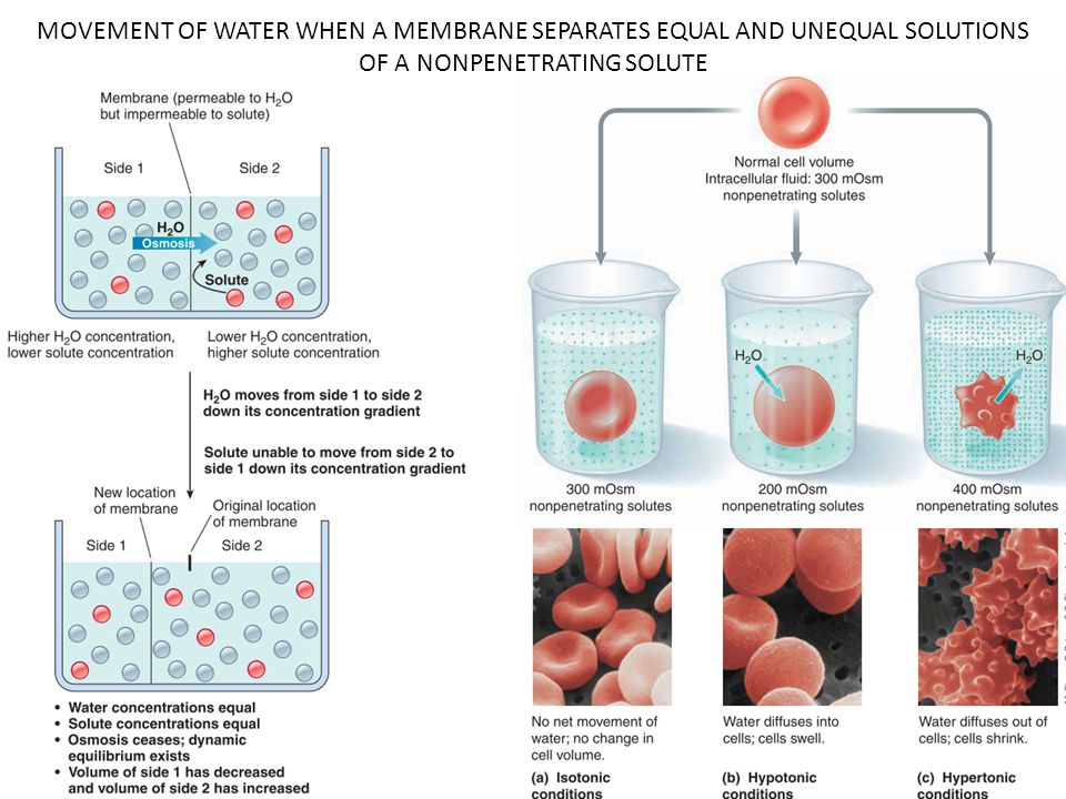 MOVEMENT OF WATER WHEN A MEMBRANE SEPARATES EQUAL AND UNEQUAL SOLUTIONS OF A NONPENETRATING SOLUTE