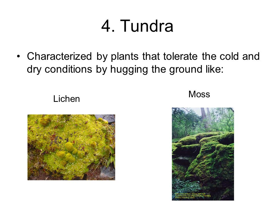 4. Tundra Characterized by plants that tolerate the cold and dry conditions by hugging the ground like:
