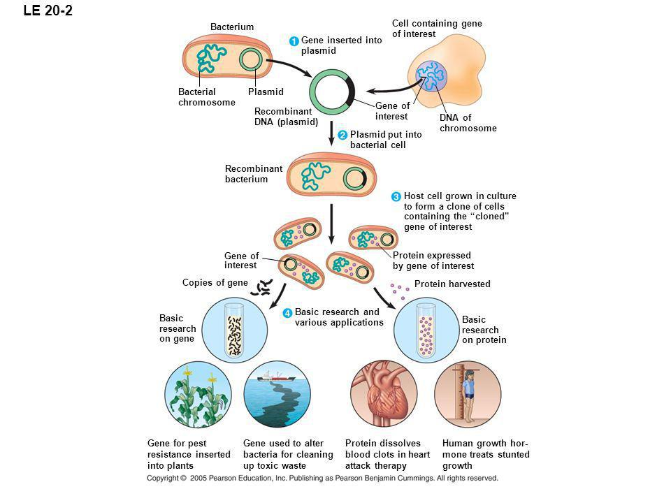 LE 20-2 Bacterium Cell containing gene of interest Gene inserted into