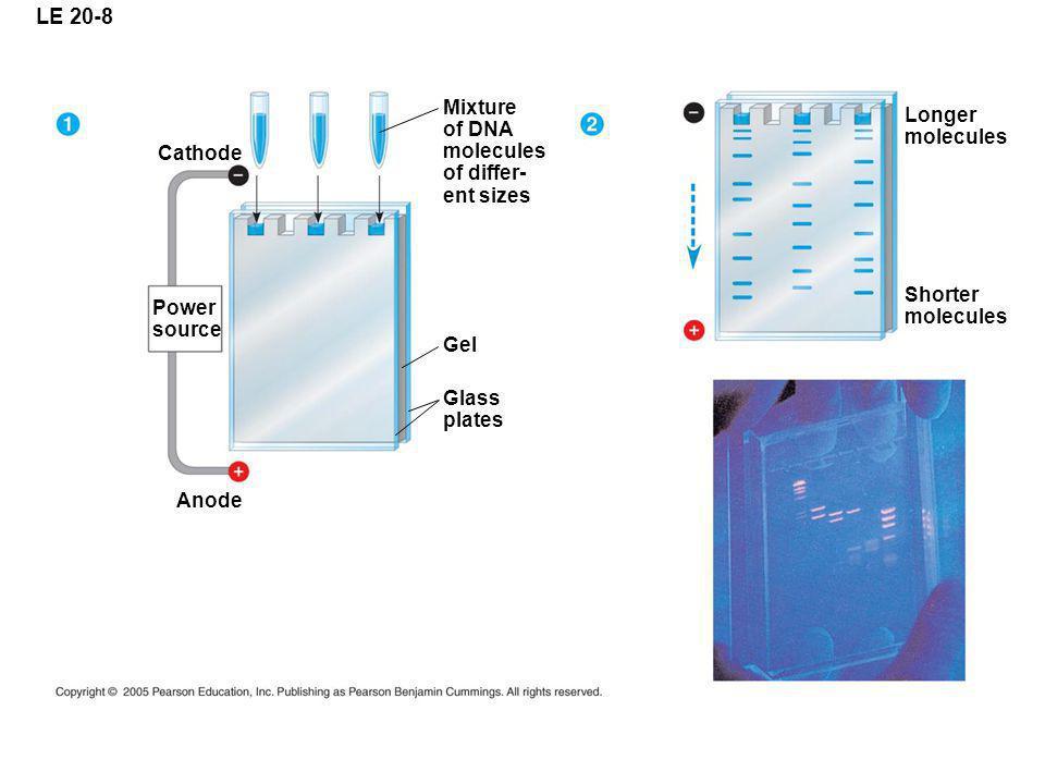 LE 20-8 Mixture of DNA Longer molecules molecules of differ- Cathode