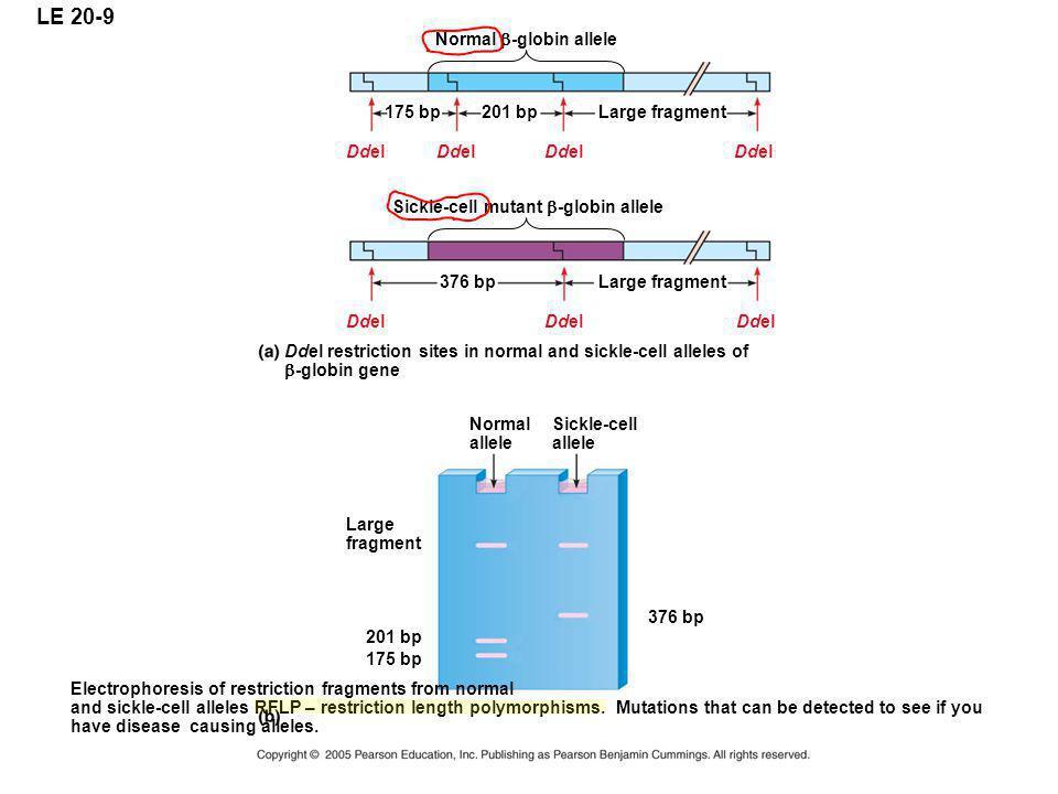 LE 20-9 Normal b-globin allele 175 bp 201 bp Large fragment Ddel Ddel