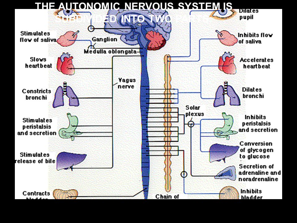 THE AUTONOMIC NERVOUS SYSTEM IS SUBDIVIDED INTO TWO PARTS: