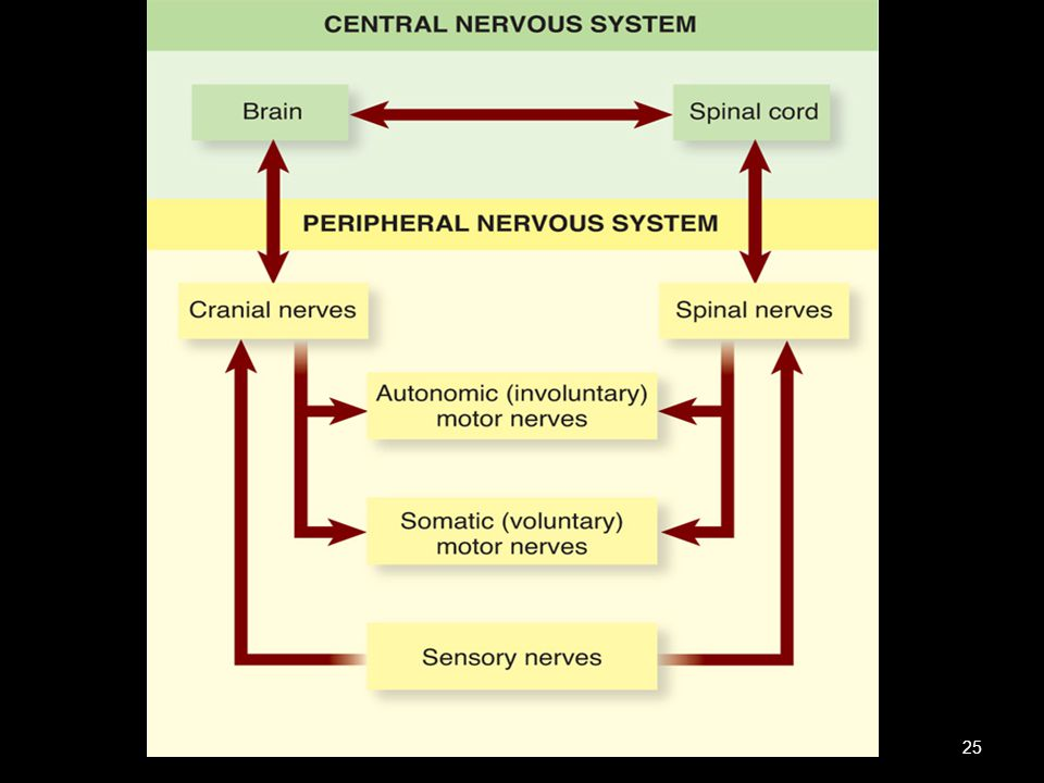 Divisions of the nervous system.