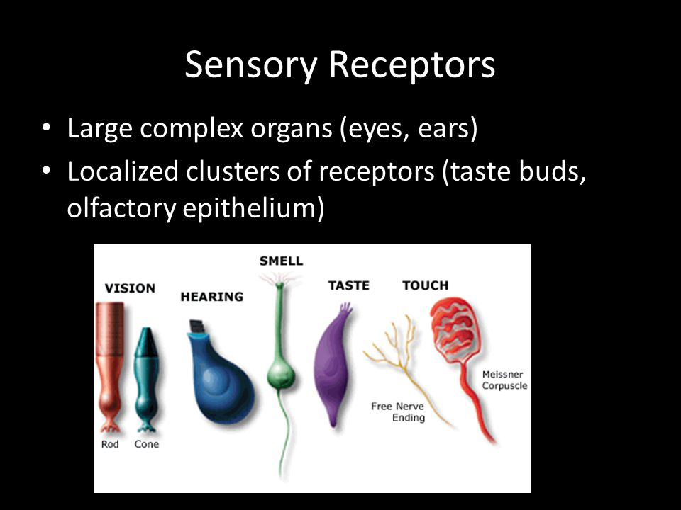 Sensory Receptors Large complex organs (eyes, ears)