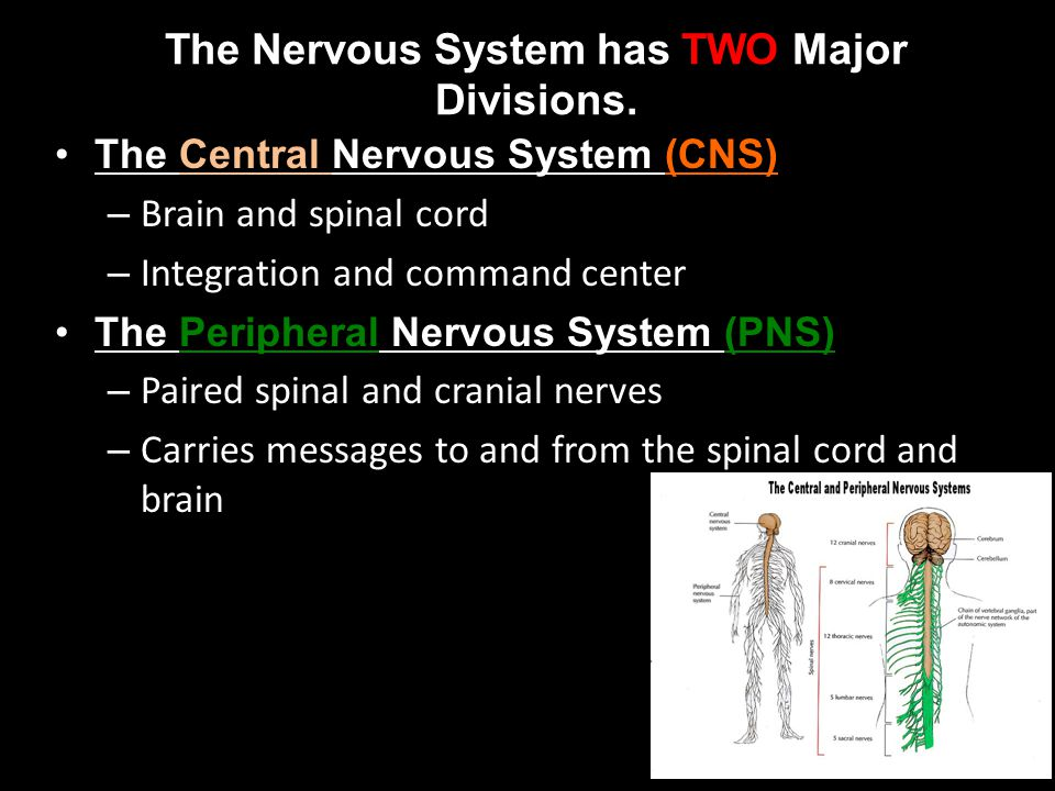The Nervous System has TWO Major Divisions.