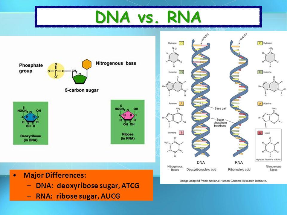 DNA vs. RNA Major Differences: DNA: deoxyribose sugar, ATCG