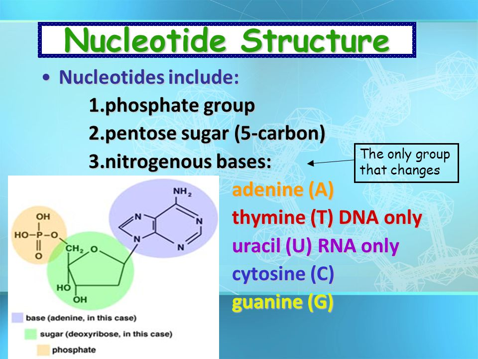 Nucleotide Structure Nucleotides include: 1.phosphate group
