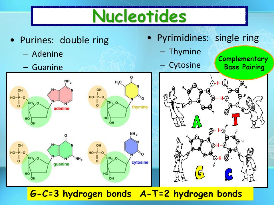Nucleotides Pyrimidines: single ring Purines: double ring Thymine