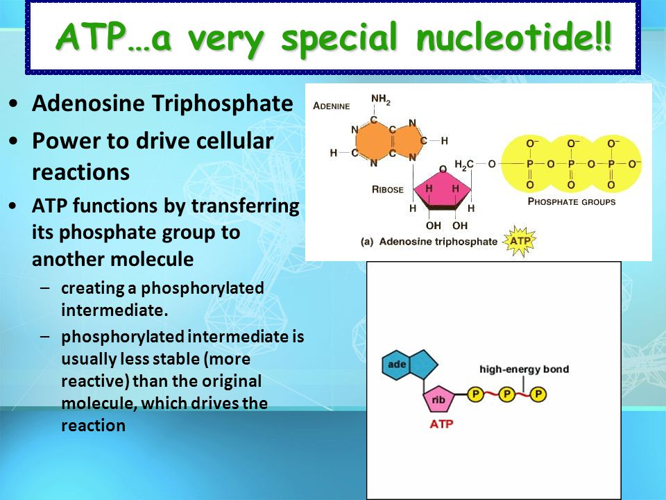 ATP…a very special nucleotide!!