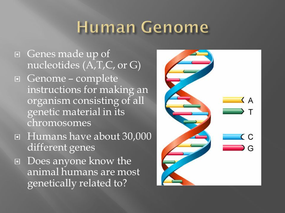 Human Genome Genes made up of nucleotides (A,T,C, or G)