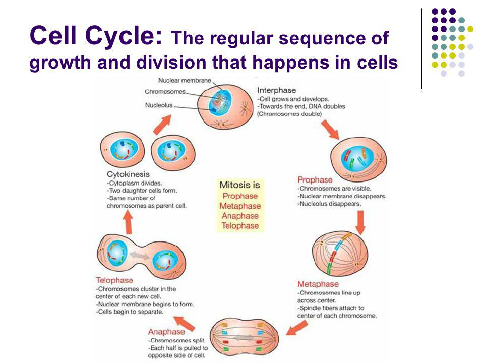 Cell Cycle: The regular sequence of growth and division that happens in cells