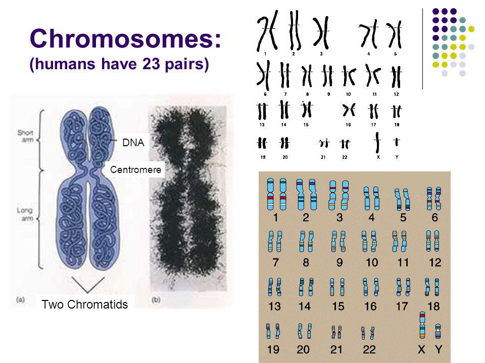 Chromosomes: (humans have 23 pairs)