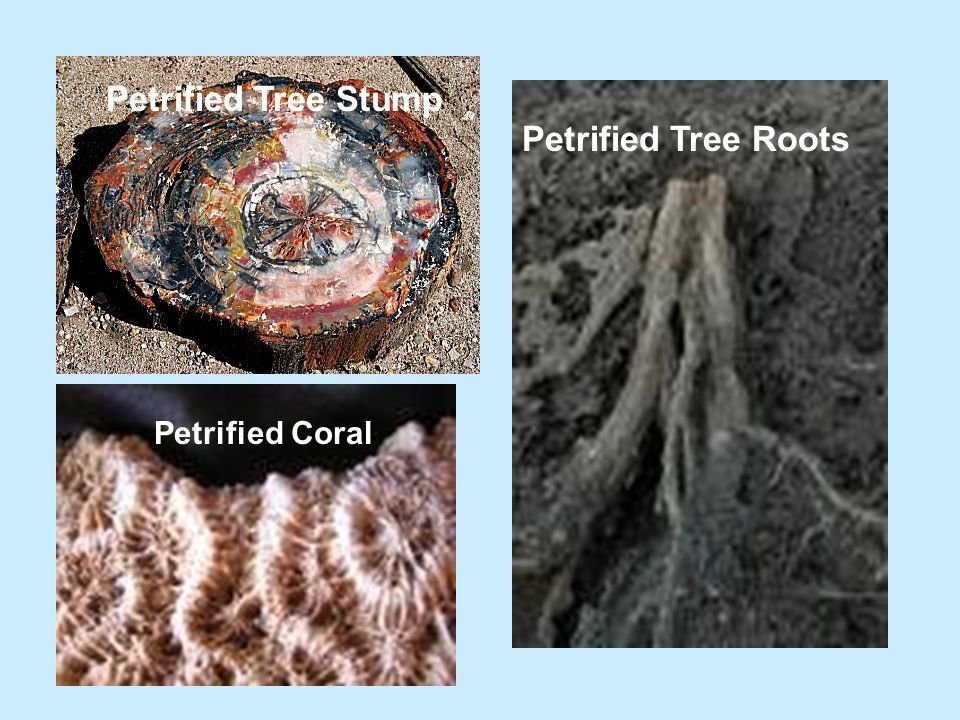 Petrified Tree Stump Petrified Tree Roots Petrified Coral
