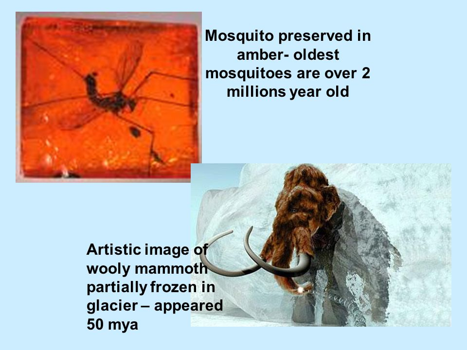 Mosquito preserved in amber- oldest mosquitoes are over 2 millions year old