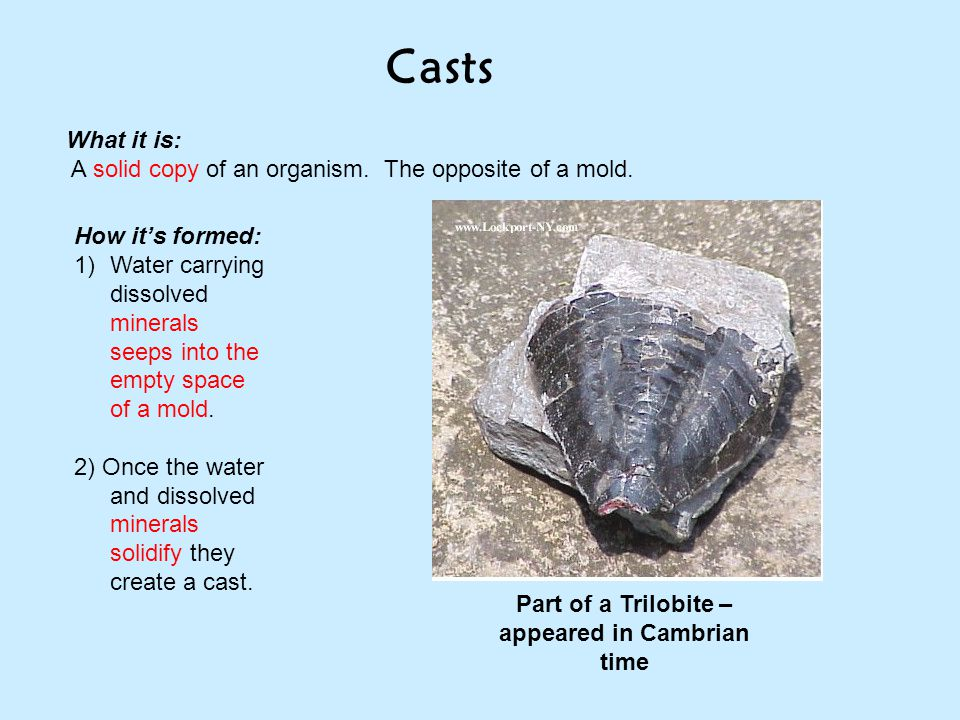 Part of a Trilobite – appeared in Cambrian time
