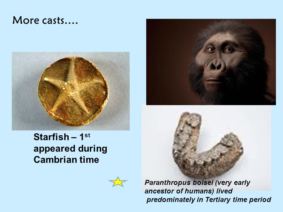 More casts…. Starfish – 1st appeared during Cambrian time