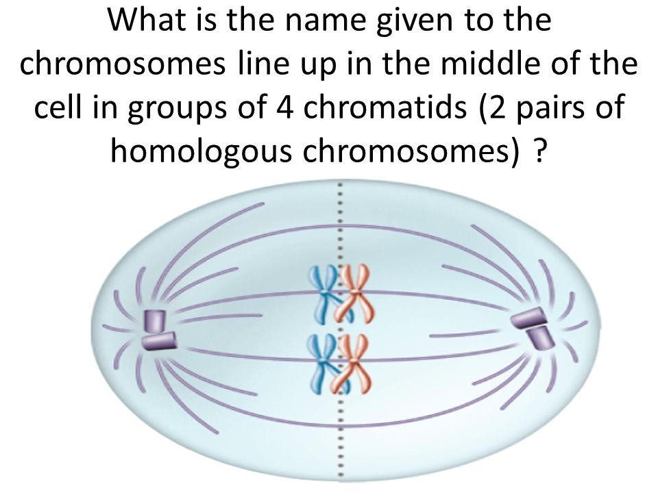 What is the name given to the chromosomes line up in the middle of the cell in groups of 4 chromatids (2 pairs of homologous chromosomes)
