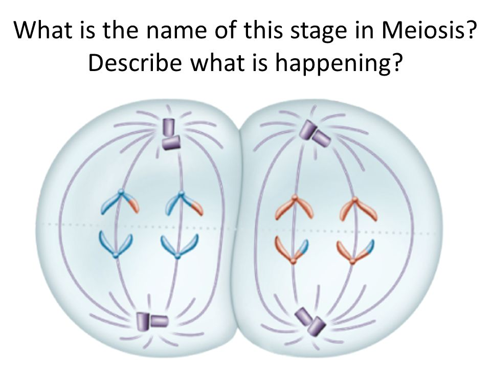 What is the name of this stage in Meiosis Describe what is happening