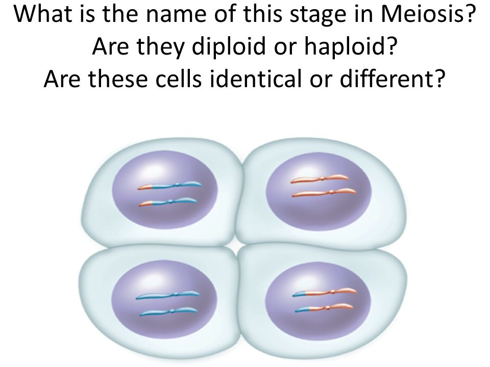 What is the name of this stage in Meiosis. Are they diploid or haploid
