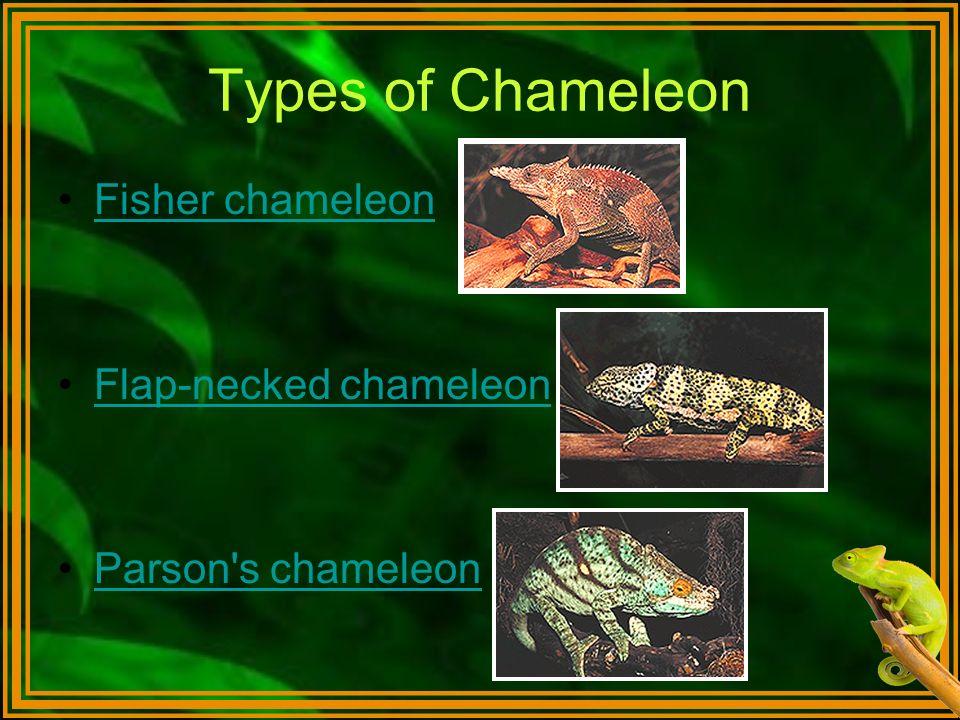 Types of Chameleon Fisher chameleon Flap-necked chameleon