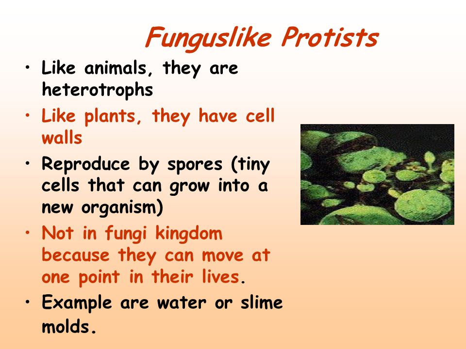 Funguslike Protists Like animals, they are heterotrophs