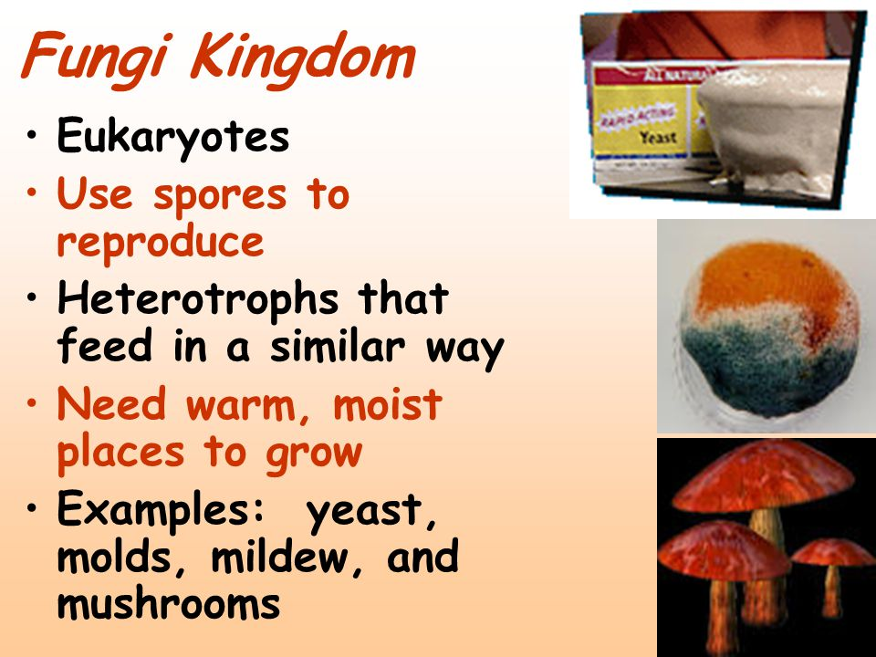 Fungi Kingdom Eukaryotes Use spores to reproduce