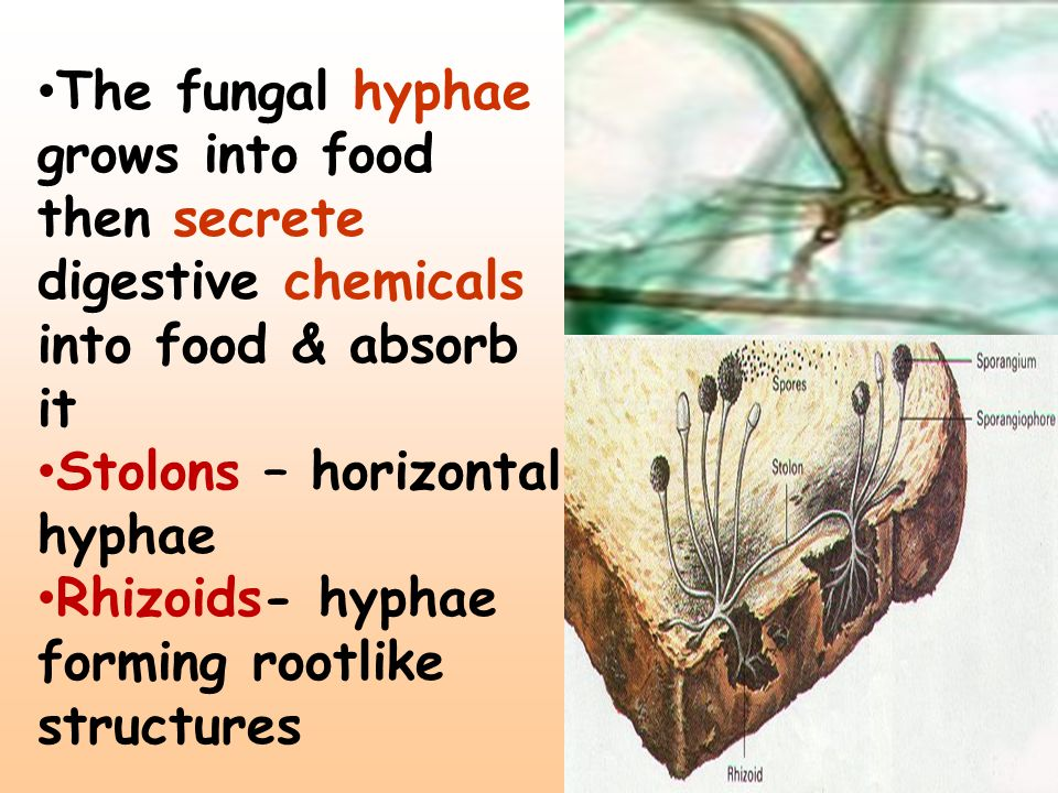 The fungal hyphae grows into food then secrete digestive chemicals into food & absorb it
