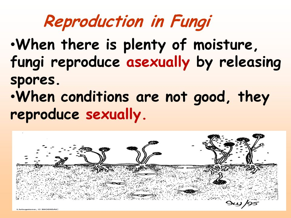 Reproduction in Fungi When there is plenty of moisture, fungi reproduce asexually by releasing spores.