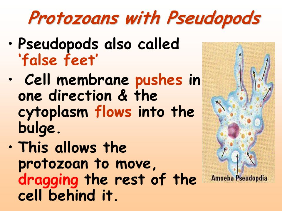 Protozoans with Pseudopods