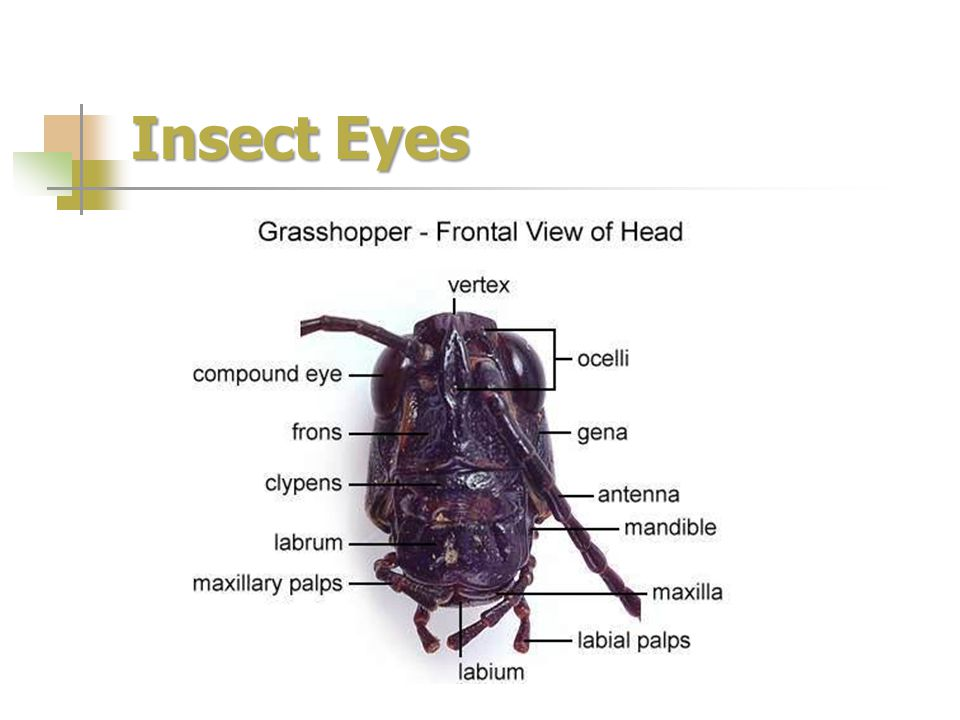 Insect Eyes