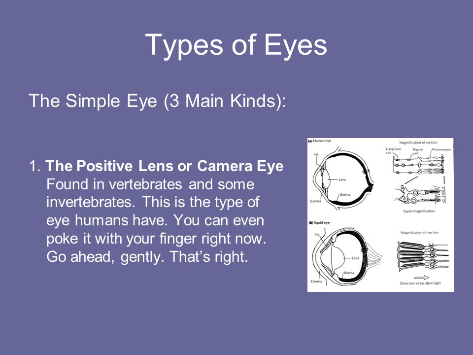 Types of Eyes The Simple Eye (3 Main Kinds):