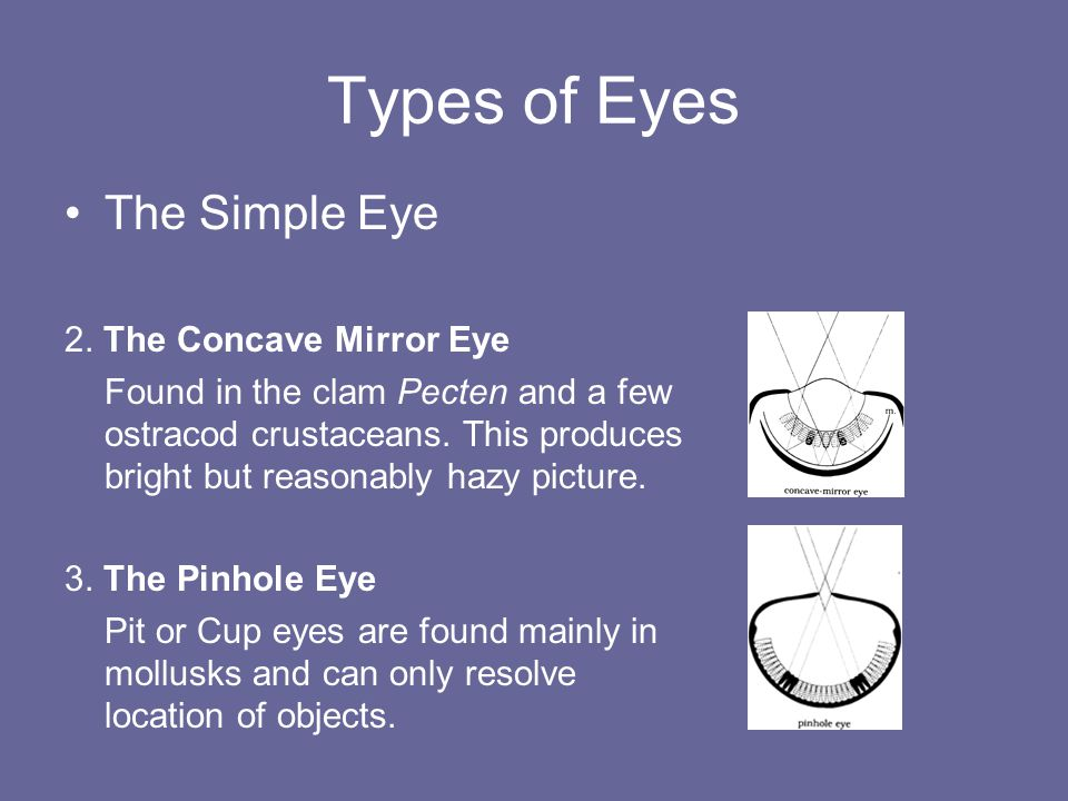 Types of Eyes The Simple Eye 2. The Concave Mirror Eye