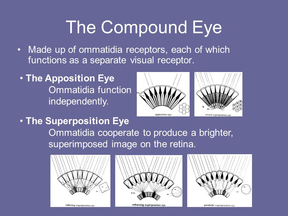 The Compound Eye Made up of ommatidia receptors, each of which functions as a separate visual receptor.