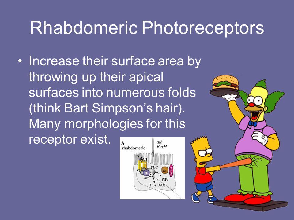 Rhabdomeric Photoreceptors