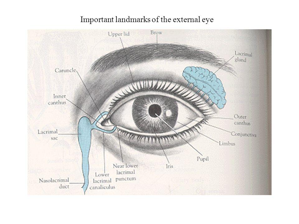 Important landmarks of the external eye