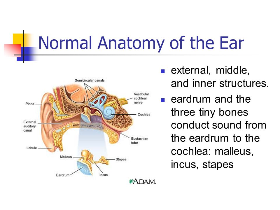 Normal Anatomy of the Ear