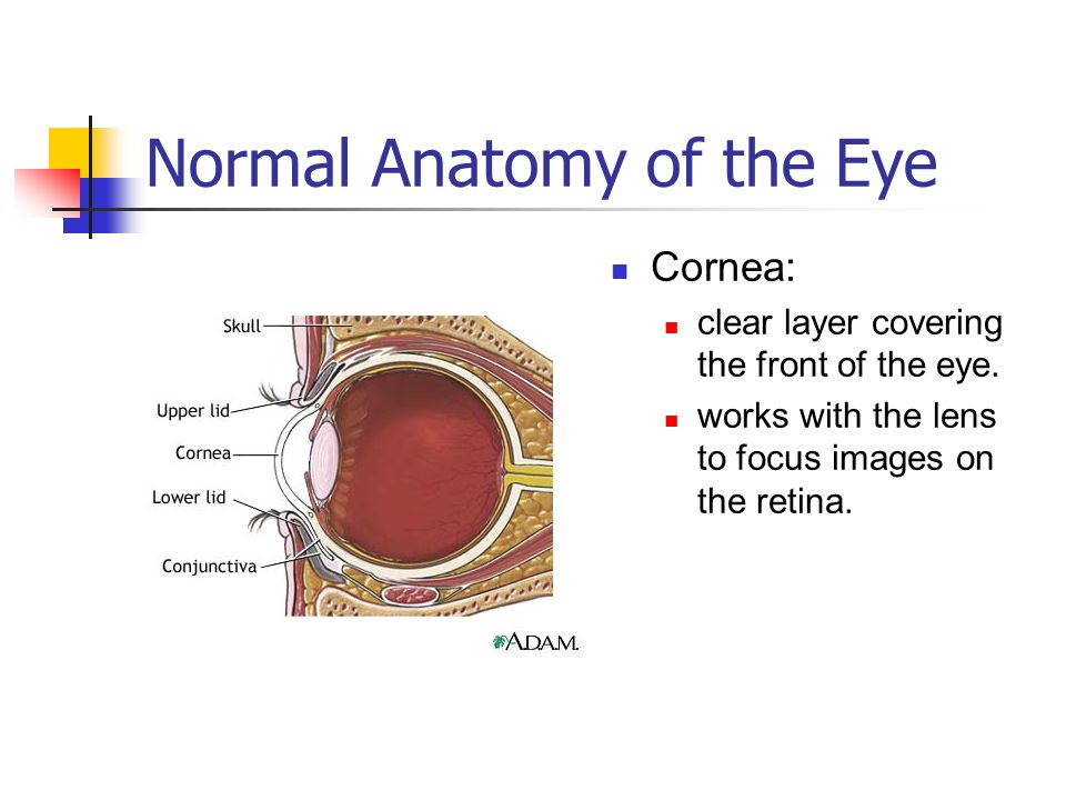 Normal Anatomy of the Eye