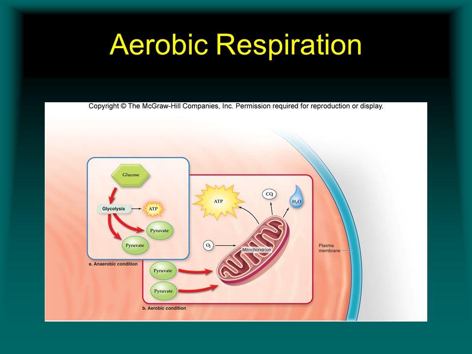 Aerobic Respiration Insert Figure 11.5