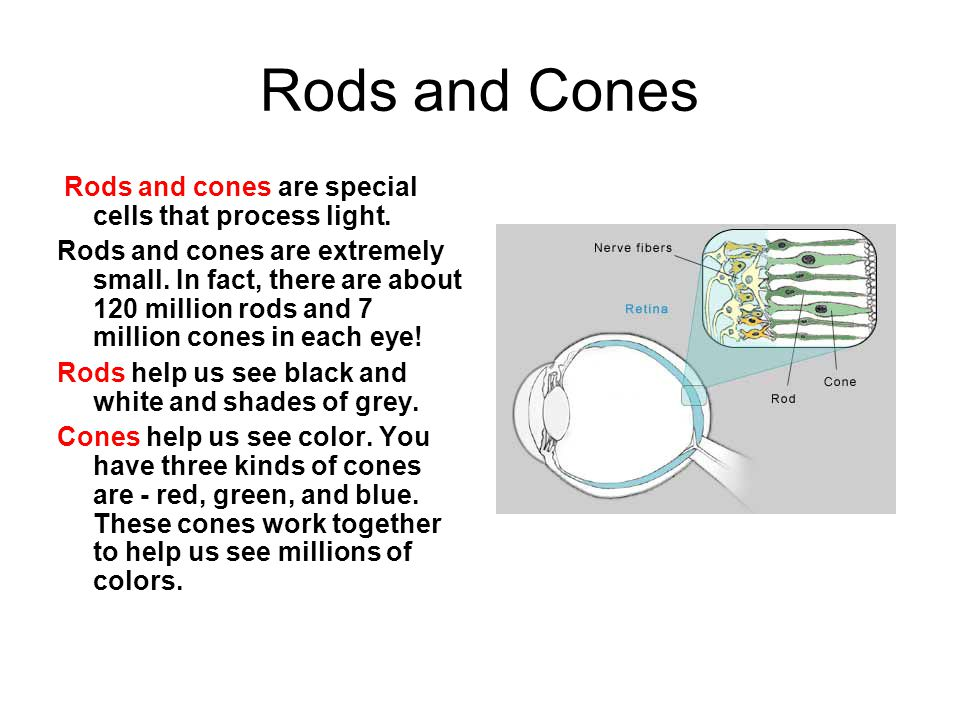 Rods and Cones Rods and cones are special cells that process light.