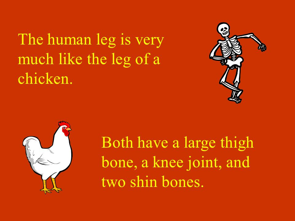 The human leg is very much like the leg of a chicken.