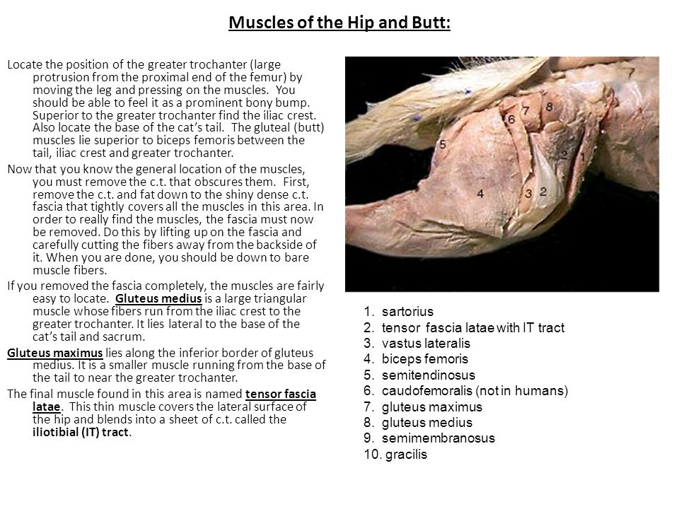 Muscles of the Hip and Butt: