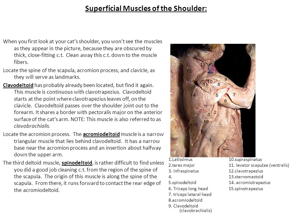 Superficial Muscles of the Shoulder: