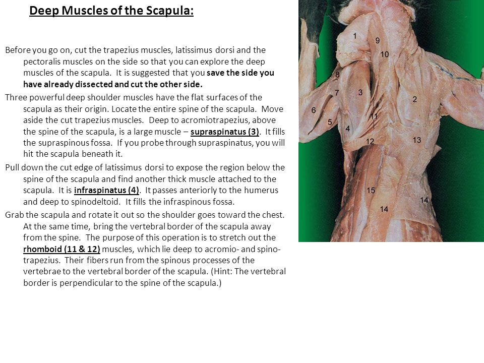 Deep Muscles of the Scapula:
