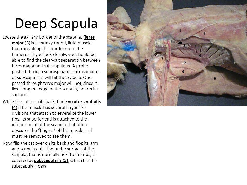 Deep Scapula