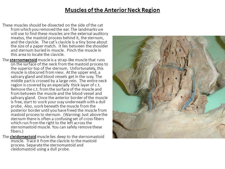 Muscles of the Anterior Neck Region