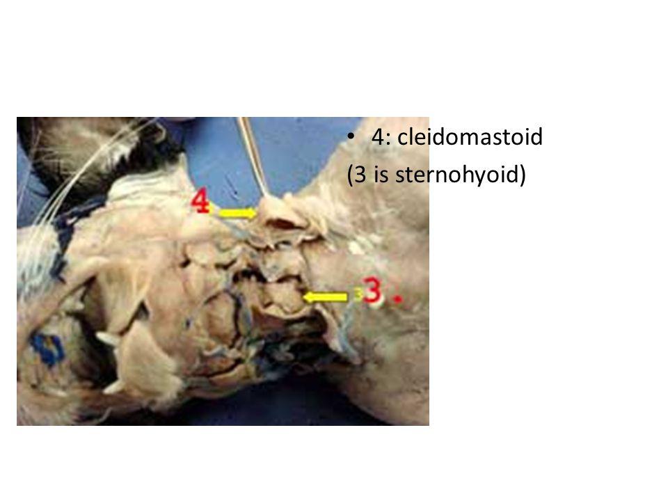 4: cleidomastoid (3 is sternohyoid)
