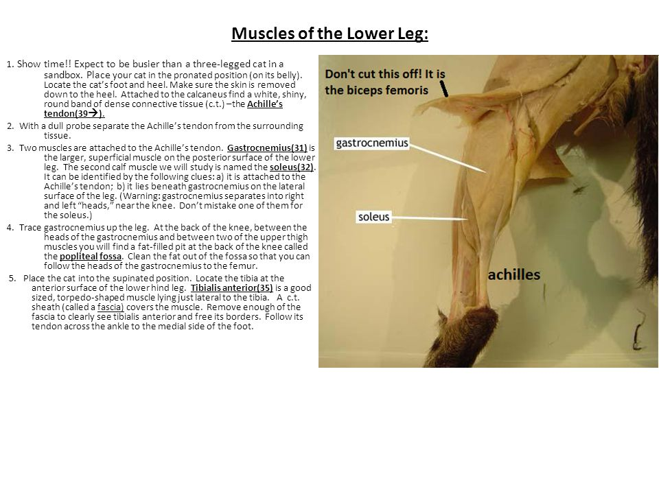 Muscles of the Lower Leg: