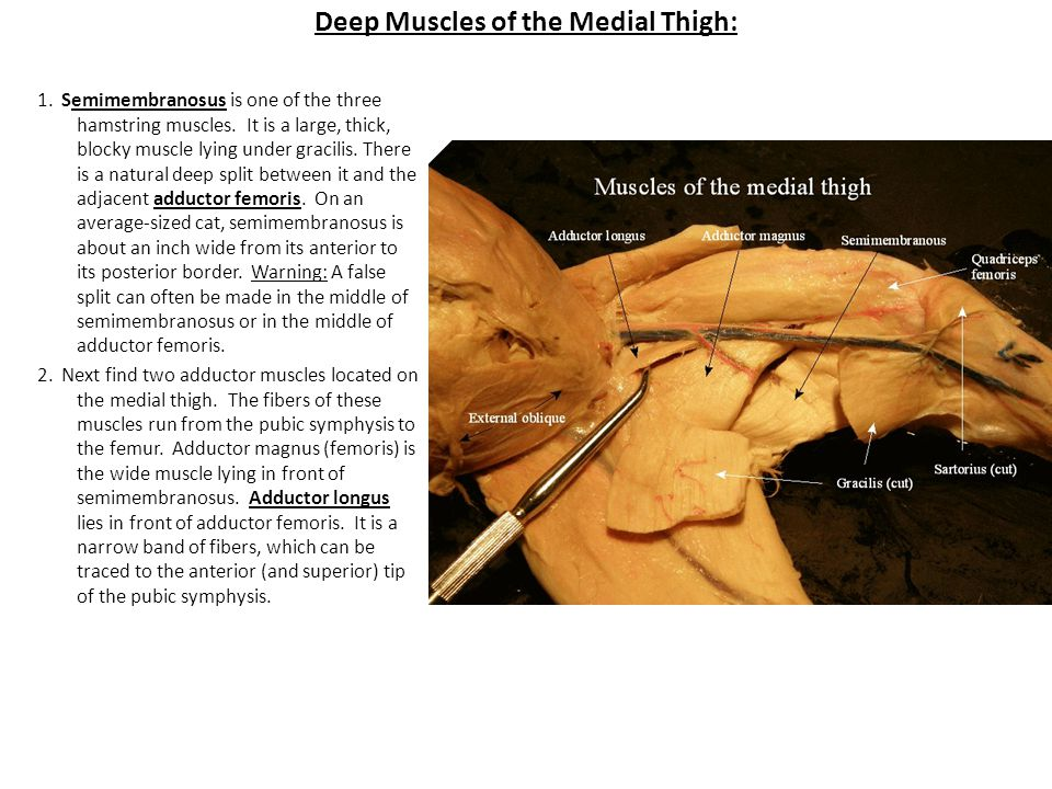 Deep Muscles of the Medial Thigh: