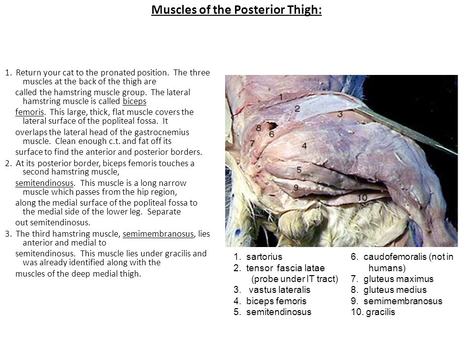 Muscles of the Posterior Thigh: